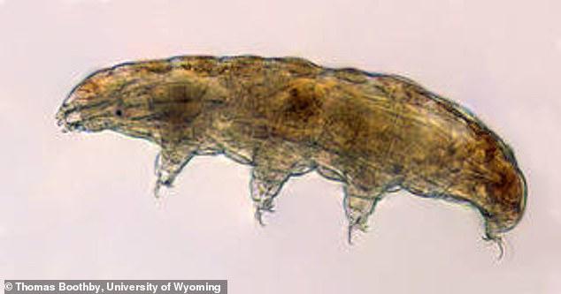 Los tardígrados son animales microscópicos que habitan en el agua y son capaces de sobrevivir en entornos hostiles tanto en la Tierra como en el espacio, y los científicos dicen que esta capacidad podría ayudar a proteger a los astronautas.