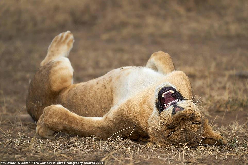 Un cachorro de león en el Parque Nacional del Serengeti, Tanzania, aparentemente riéndose de las habilidades fotográficas de Giovanni Querzani