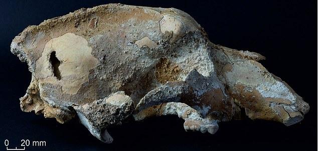 El cráneo de un oso de las cavernas de la Edad de Hielo encontrado en Rusia puede contener la evidencia más temprana de que el animal fue cazado por humanos