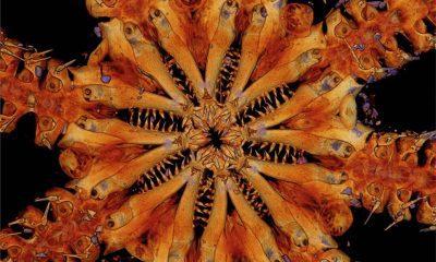 Investigadores en el Pacífico Sur descubrieron lo que creen que es una nueva especie relacionada con la estrella de mar, con ocho filas de dientes afilados para atrapar y triturar presas.