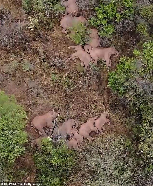 Fotografía aérea de elefantes acostados en lo que parece ser un triángulo protector alrededor de una cría.