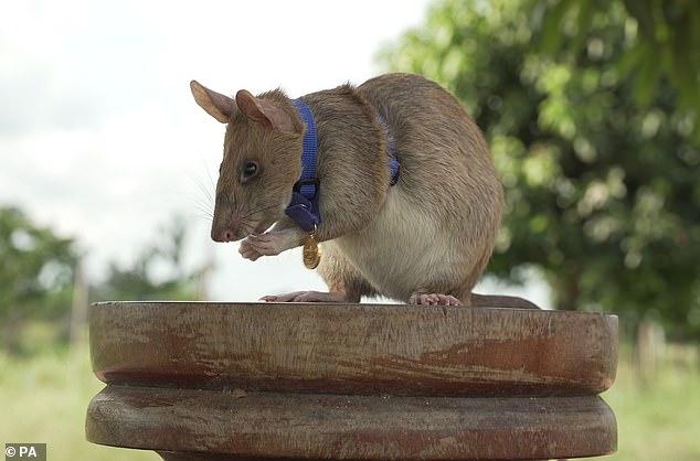 Magawa, la rata, fue reconocida el año pasado por su trabajo y recibió una medalla de oro PDSA en miniatura, el equivalente animal de la George Cross.