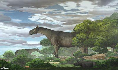 Un antepasado gigante del rinoceronte moderno vagó por China hace 26,5 millones de años y era más alto que una jirafa, según el equipo que encontró sus restos.