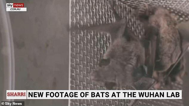 Sky News Australia transmitió el domingo imágenes que, según dijeron, les fueron entregadas por el grupo activista Drastic.  Dijeron que las imágenes de los murciélagos se filmaron dentro del laboratorio de Wuhan.  Un miembro del equipo de la OMS que inspeccionó el laboratorio en enero, Peter Daszak, ha insistido anteriormente en que el laboratorio no albergaba murciélagos.  Desde entonces ha admitido que la instalación podría tener murciélagos vivos.