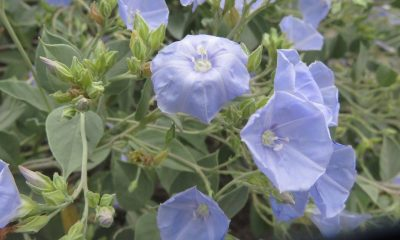 Jaquemontia chuquisacensis