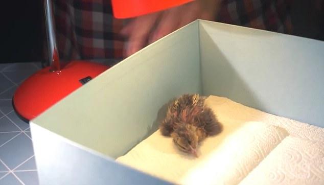 Se compartieron en YouTube imágenes increíbles que muestran un embrión de pollo que se convierte lentamente en un polluelo vivo dentro de un 'huevo de vidrio'