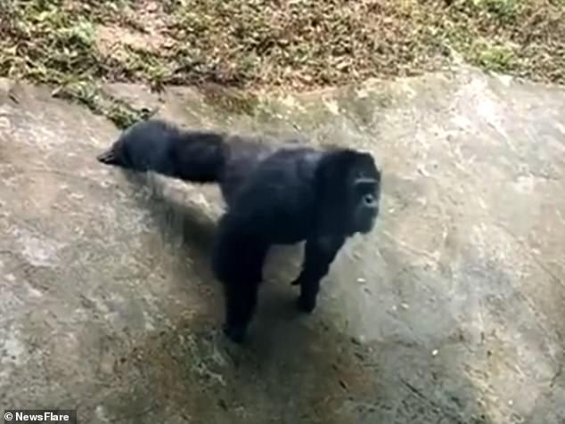 El chimpancé macho de 20 años llamado Yu Hui imita las acciones de un turista que hace flexiones en Chongqing, suroeste de China.
