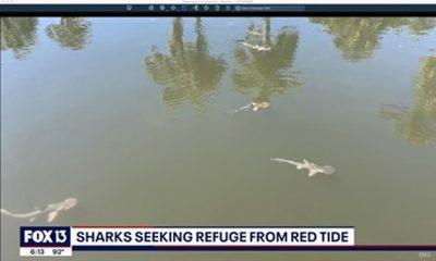 Una 'marea roja' generalmente desenfrenada en el oeste de Florida causada por una floración de algas está obligando a los tiburones a buscar refugio en un canal interior cerca de Longboat Key