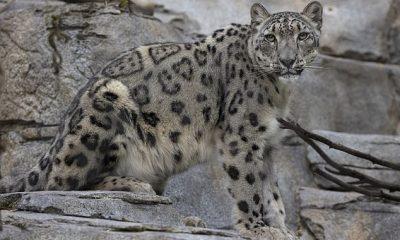 Los dos leopardos de las nieves que dieron positivo por COVID-19 en el zoológico de San Diego el mes pasado se están recuperando.  La tos de los leopardos está disminuyendo y no muestran otros signos, dijeron las autoridades a DailyMail.com.