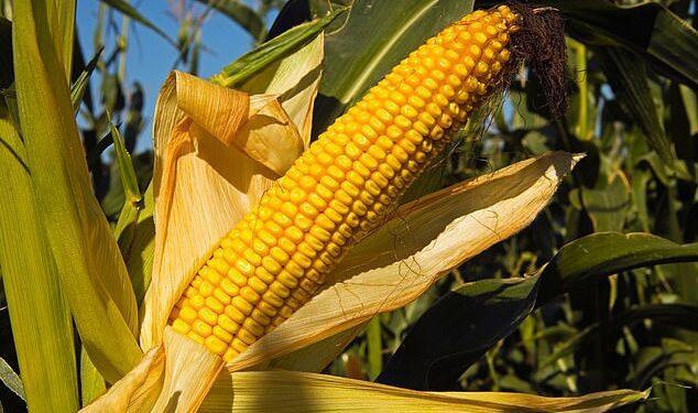 Los científicos de la Universidad de Illinois probaron la tolerancia al hacinamiento de los híbridos de maíz que datan de 1934 y encontraron que los rendimientos aumentaron un tercio de tonelada por década.