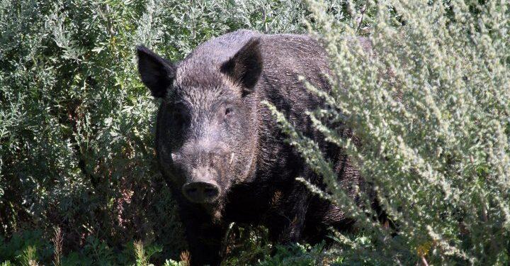 Invasores cerdos salvajes avistados en un parque nacional por primera vez en la isla Elk de Alberta