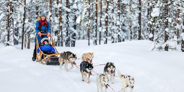Huskies siberianos tirando de un trineo a través de un bosque de abetos (foto de archivo).  Reflexionando sobre su propio paseo husky, Tom Chesshyre dice: 'Realmente son criaturas adorables'